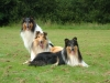 American Collie, Bialy, white