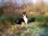 American Collie, Hopper, tricolor