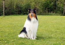 American Collie