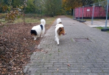 2016-11-12 American Collie Fellow4