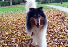 2016-11-16 American Collie Vegas 4 @ 4 years