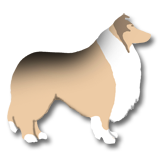sable American Collie