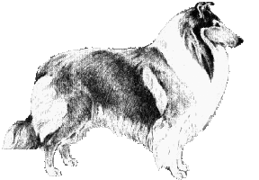 collie ideal male